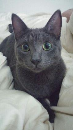 Blue russian cat (asgard)