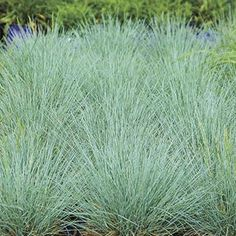 Cool as Ice Blue Fescue