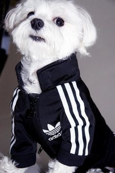 I'm the type of dog.... Adidas Sportswear and Sneakers for Small Dogs, Fun Pet Design Ideas