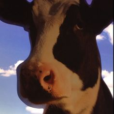 Cow cow maaow