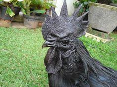Ayam Cemani - Rare Black Chicken costing $2,500 http://finance.yahoo.com/blogs/daily-ticker/rare-2-500-chicken-lamborghini-poultry-163825389.html