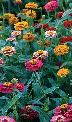Kerti növények ültetése, szaporítása házilag Love Garden, Garden Ideas, Zinnias, Love Gifts, Beautiful Flowers, Outdoor, Gardening, Nature, Garden