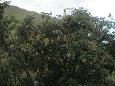 Acabo de compartir la foto de Rixser Ramirez Peña que representa a: Planta de Tara