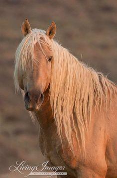 The wild palomino stallion Corona in the Sand Wash Herd Area at dawn.