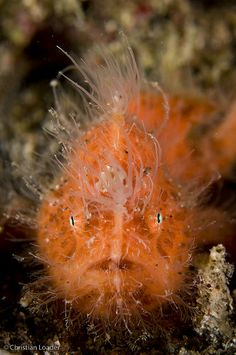 Juvenile Hairy Frogfish