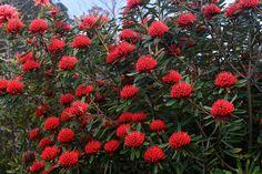 Ferny Creek Horticultural Society display garden | Telopea s… | Flickr - Photo Sharing!