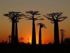 Baobab trees, as pictured above, are very common in Madagascar. There used to be a forest covering the whole island, but now it's just on the coasts. In addition the Baobab trees, there are over types of orchids in Madagascar. Le Baobab, Baobab Tree, Mauritius, National Geographic, Madagascar 2, Bonsai, Landscape Photography, Travel Photography, Sunset Photography