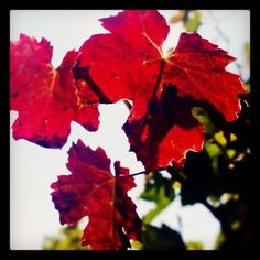 Romantiques feuilles de vigne @vignoblescaminade