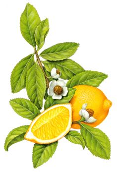 Botanical illustration of tea with a whole lemon and a lemon slice.