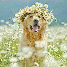#tiaras #flowers #dogs #doglovers https://www.mypetshop.in/