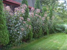 Joe Pye Weed grows between the arbovite in the summer.  Nice privacy hedge.