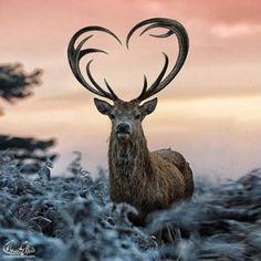 Elk with heart shaped antlers
