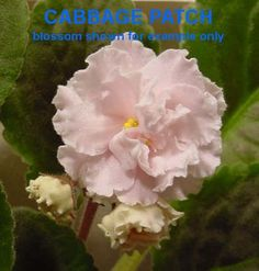 CABBAGE PATCH ~ African Violet   (E. Champion) Double light pink ruffled.  Crown variegated dark green and ivory, plain.  Standard.