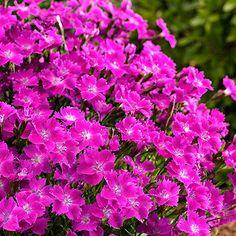 Duftnelke Kahori(R) - Immergrüne Pflanzen