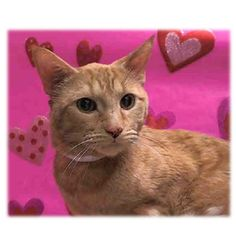 Killed at ACC!! Why?? TO BE DESTROYED 2/17/15 *NYC* SWEET GINGER KITTY! * Manhattan Center * Meet Goldie, he is ready to go to his new and loving happy home. He is in need of follow up veterinary care as soon as possible because he may have a possible Urethral Obstruction. *   My name is GOLDIE. My Animal ID # is A1027960. I am a male org tabby domestic sh mix. I am about 10 YEARS old.  OWNER SUR on 02/14/2015 from NY 10472,  PERS PROB.