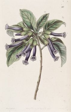 heaveninawildflower:   Iochroma cyaneum, as Iochroma  tubulosa taken from Edwards's Botanical Register 31(8): t. 20. 1845. Author - George Bentham. Via Wikimedia.