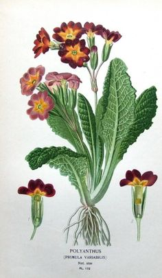 "POLYANTHUS (Primula Variabilis) - by Edward Step and William Watson for ""Favourite Flowers of Garden and Greenhouse"" published in 1896"