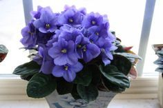 Learn four methods for growing African violets, including starting them from seeds, leaf cuttings, and divisions.