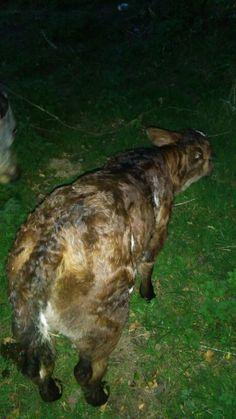New heifer born this evening 22 April