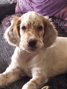 Charley, Our English Setter pup at 11 weeks