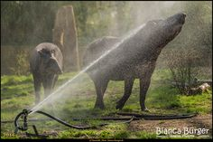 Zoo Berlin 7 - Flachlandtapir #ZooBerlin #Zoo #Berlin #Deutschland #Germany #biancabuergerphotography #igersgermany #igersberlin #IG_Deutschland #IG_Berlin #ig_germany #shootcamp #shootcamp_ig #canon #canondeutschland #EOS5DMarkIII #5Diii #pickmotion #berlinbreeze #diewocheaufinstagram #berlingram #visit_berlin #Tiere #animals #tapir #flachlandtapir #AOV5k