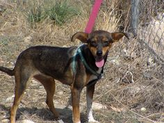 Estrella, female, born about December 2012, mixed breed. Rescued from the street, weighs 6 kilos and is 35cm tall. She's small and loving. Just needs a permanent home. Contact: adoptions@iara-alliance.org Mixed Breed, Small Dogs, Adoption, December, Female, Street, Animals, Animais, Animales