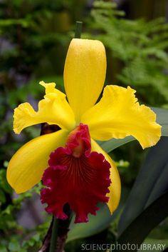 Orchid (Brassolaeliocattleya 'Alma Kee')