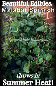 Malabar Spinach - Te