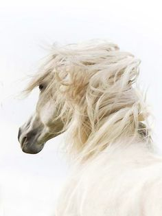 Alabaster, the Lipizzaner stallion on his morning run, unfettered and beautiful .....