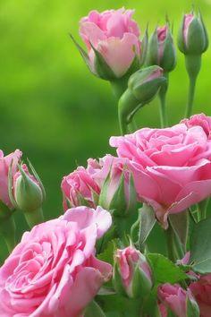 roses  via Angela Clark-Grundy