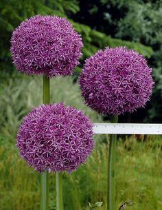 Jättilaukka lila - Viherpeukalot