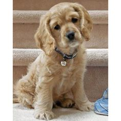 I want this dog so cute Coker Spaniel!