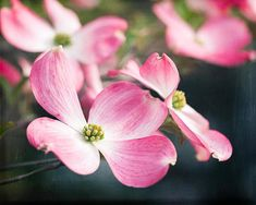 Pink Wall Art Dogwood Flower Photograph Living Room Art