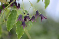 stauntonia purpurea. Nog onbekende slingerende klimplant met hangende en geurende bloemen. Beschutte plaats halfschaduw zon, Bloei Maart-April, Hoogte tot 8 m.