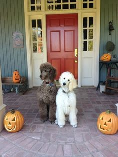 We really are Tea Cup Poodles This is our Halloween costumes!!!
