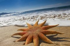 "Should we call it ""SEA STAR"" or ""SEA SUN"" ? (Sea stars are among the most impressive and famous marine animals. Despite its name, the starfish is not a fish; it's an echinoderm, closely related to sea urchins & sand dollars. Beautiful Creatures, Animals Beautiful, Wale, Underwater Life, Deep Blue Sea, Ocean Creatures, Sea World, Ocean Life, Marine Life"