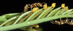 11 Best Bullhorn Acacia Ant Images In 2016 Acacia Ant Ants