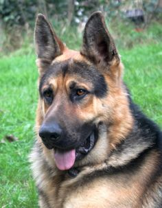 """Royalair's Levi Jeans. At a year old he weighed 100 pounds and 30"""" at the shoulder!! Beautiful example of a german shepherd."""