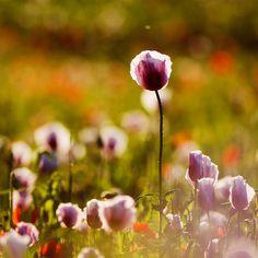 Poppy field on a summer evening.  by Martin Rak.
