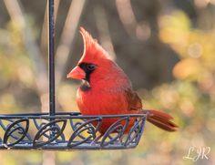 "Our backyard visitor / Metairie / Louisiana / Photographer by me ""Lori"""