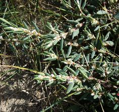 Seasonal Wild Flowers - Sea Knotgrass