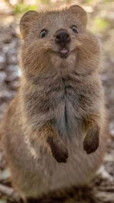 Quokka: [PHOTOS] This wildlife photographer's love for Quokka has made the animal an Instgaram famous star Cute Little Animals, Cute Funny Animals, Mundo Animal, My Animal, Happy Animals, Animals And Pets, Quokka Animal, Australian Animals, Cute Animal Pictures