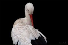 Germany, Stork, Bird, Storks, White Stork #germany, #stork, #bird, #storks, #whitestork