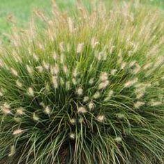 Shrub planting cornus alba sibirica red stems in for Ornamental grass bed