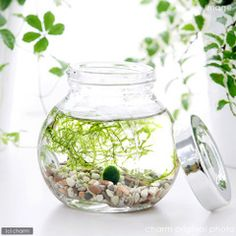 building my marimo a new house today ♥ thinking of a little round jar like this one.
