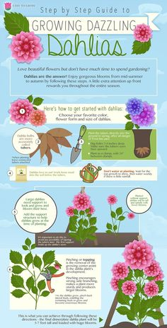 Planting Dahlias Perfectly - An Infographic! - Dahlia Planting Infographic with step by by step information - Planting Dahlias, Growing Dahlias, How To Grow Dahlias, Cut Flower Garden, Cut Garden, Flower Gardening, Herb Garden, Gardening Zones, Gardening Tips