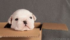 puppies in boxes   Cute Puppy In A Box - funnypuppysite.com