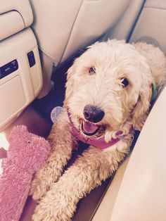 This is my new dog London. Please save to as many boards-possible. She is a goldendoodle