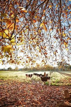 Autumn colour around Wangaratta Australia. Mother Pictures, Tourism Website, Victoria Australia, Melbourne Australia, Country Life, Dream Vacations, Beautiful Landscapes, The Great Outdoors, Autumn