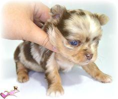 super adorable chihuahua puppy